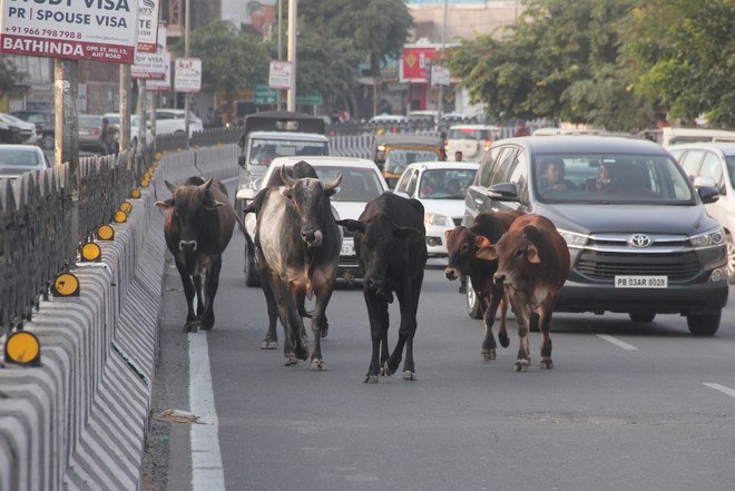 MC collects cow cess, fails to check stray cattle menace