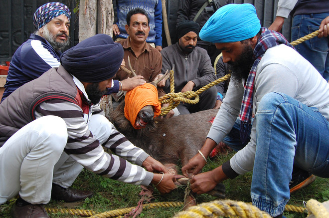 Rescued from Company Bagh, sambar dies on way to forest