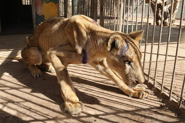 In pictures: Malnourished African lions cause global outrage; online campaign launched