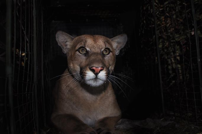 Man fends off mountain lion that attacked his 3-year-old son in California