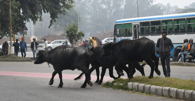 Letting animals loose on city roads to invite Rs20K fine