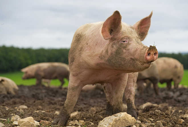 Scientists reveal potential of swine coronavirus jumping from animals to people
