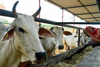 70 head of cattle die after 'consuming poisonous fodder' at Panchkula's Mansa Devi Godham