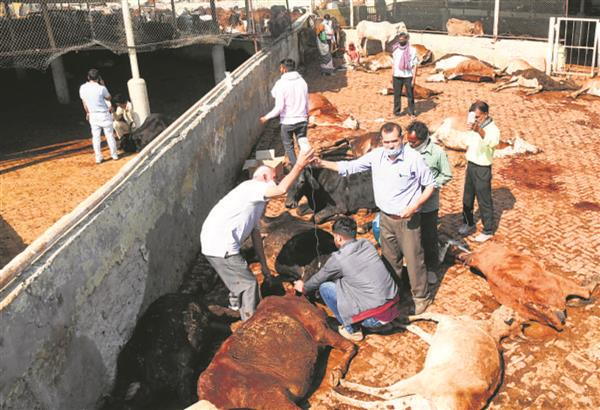 Cattle deaths at Mansa Devi Gaudham: Autopsy hints at food poisoning