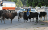 Now, owner to pay Rs 1L for death caused by stray cattle in Punjab