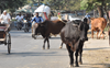 Bovine care suffers as govt fails to release cess to MC