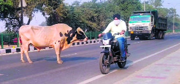Stray cattle have commuters worried in Patiala