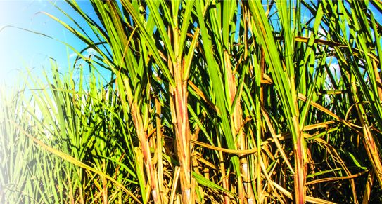 Sugarcane farming: Labour productivity the key to sweet success