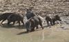 Farmers jittery as wild boars destroy crop, approach hunters