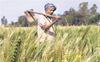 Revoke Punjab laws that don't guarantee MSP, says BKU
