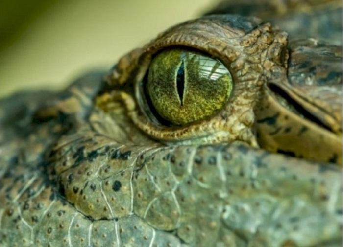 "A massive prehistoric ""swamp king"" crocodile identified in Australia: The Tribune India"