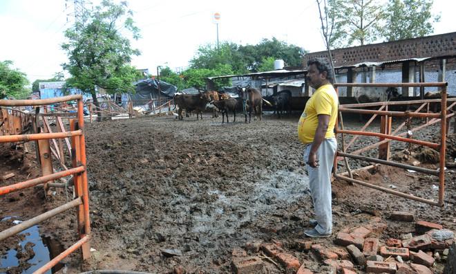 Gaushalas let cattle loose