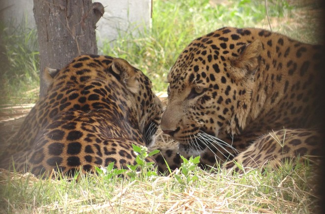 Bir Talab zoo on alert after tigress tests positive in US