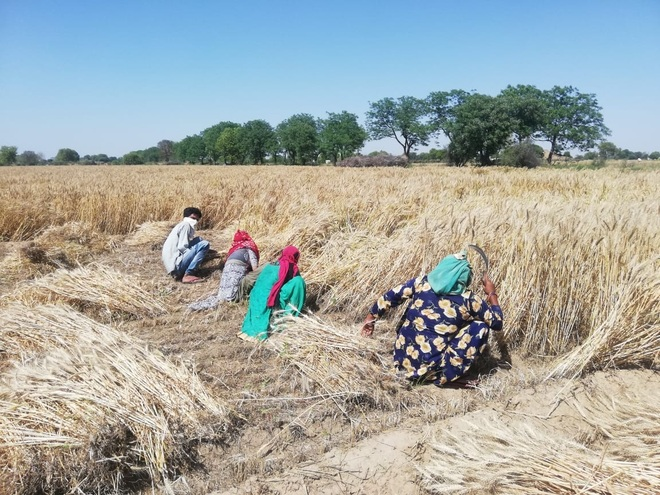 In absence of combines, farmers turn to manual wheat harvesting