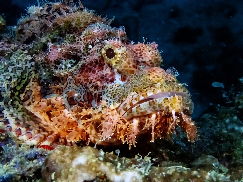 Rare bandtail scorpionfish found in Gulf of Mannar