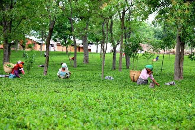 Kangra tea can boost immunity against COVID-19, claims HP lab scientist