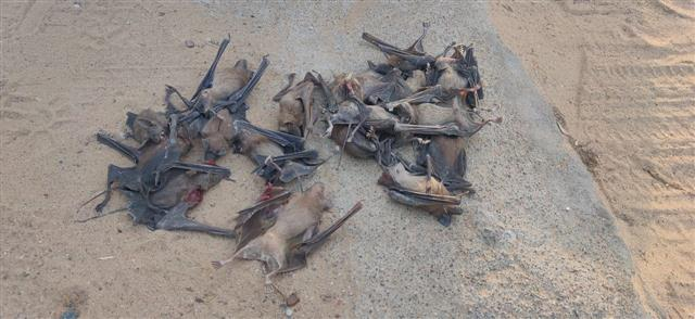More than 150 bats killed in Rajasthan owing to fear of COVID-19 spread