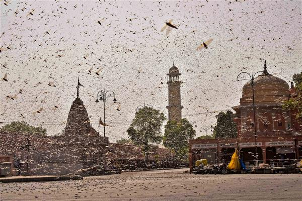 To counter worst locust attack in years, Centre steps up operations in Rajasthan, Punjab, Gujarat, MP