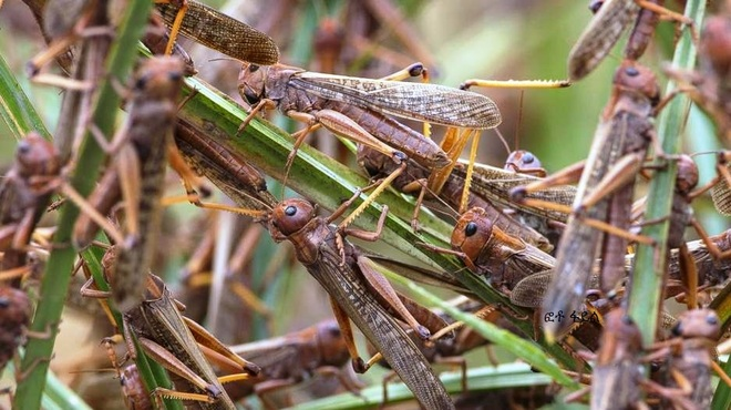 Wind direction saves day as locusts change course