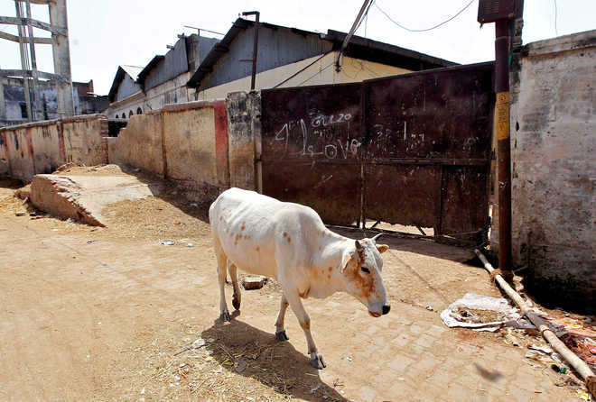 After Kerala incident, cow injured in Himachal's Bilaspur as it eats firecrackers wrapped in wheat-flour ball