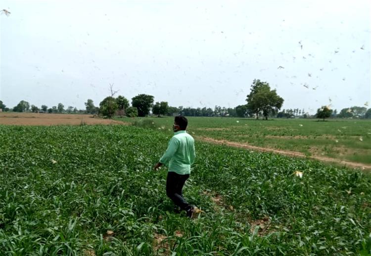 Locust swarm re-entersRewari after three days, passes over eight villages