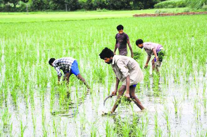 Rain comes as blessing for paddy farmers