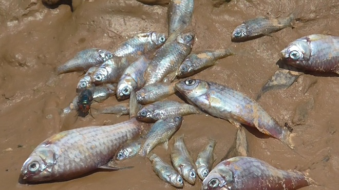 Dead fish found in Sirsa river at Nalagarh industrial cluster