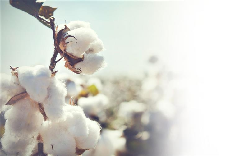 Cotton sown on 4.9L hectares in Punjab