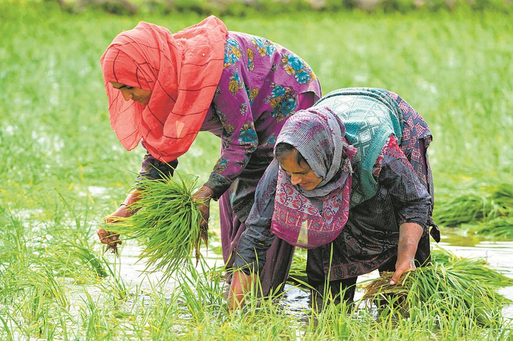 Paddy MSP hiked by Rs 53/quintal