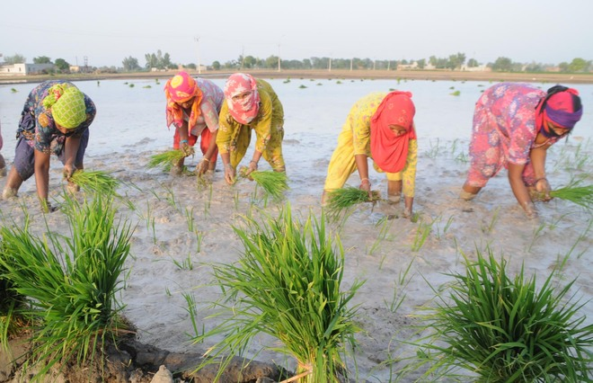 Let down by direct seeding tech, Malwa farmers replant paddy