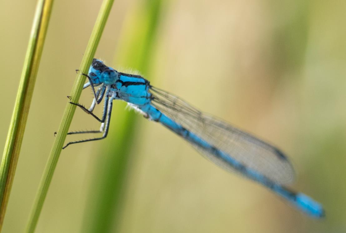 'Nearly extinct' damselfly species found near Satara dam in Maharashtra