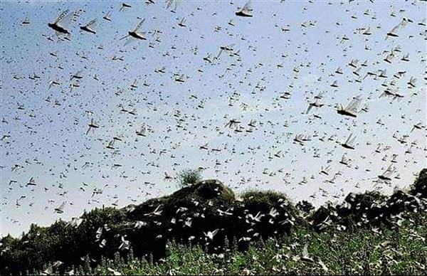 Haryana govt hires drones for spraying pesticide on locust swarms