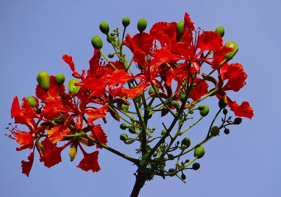 Gulmohar — Canopy of red regalia