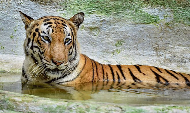 India's 2018 tiger census sets a Guinness record