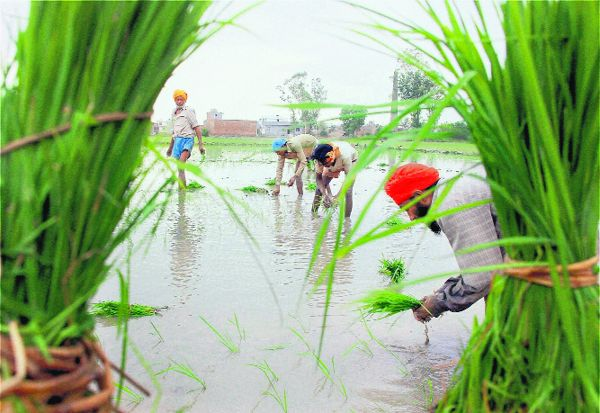 Paddy growers sweat it out in fields as labour in short supply
