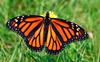 77 new butterfly species found in Matheran: BNHS