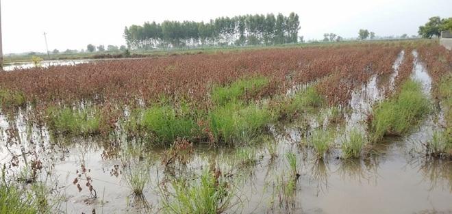 Cotton on 50K acres damaged in Haryana