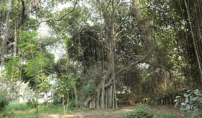Bond of bliss with the banyan