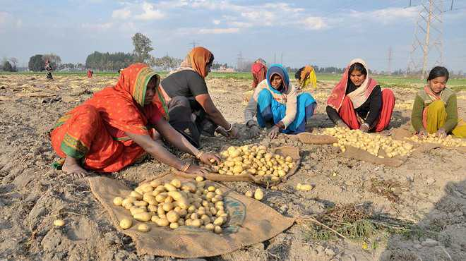 Potato prices to soar in Punjab, high temperature to blame
