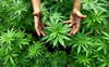 Delhi cops confiscate 160 kg marijuana but only report 1 kg while selling off the rest