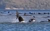 Whale beaching: An enduring mystery