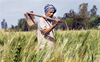 Wheat MSP hiked by Rs50, Congress says not enough