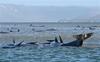 Around 270 whales stranded on sandbar off Australia's Tasmania