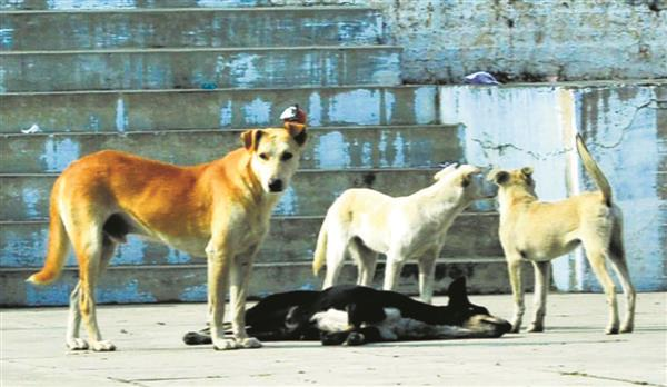 In Patiala, 900 dog-bite cases every month