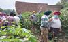 Pink bollworm destroys  cotton crop in Bathinda