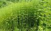 Drive to eradicate poppy, cannabis plants in Mandi