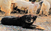 Palampur Agriculture University to launch research project on Gaddi dogs