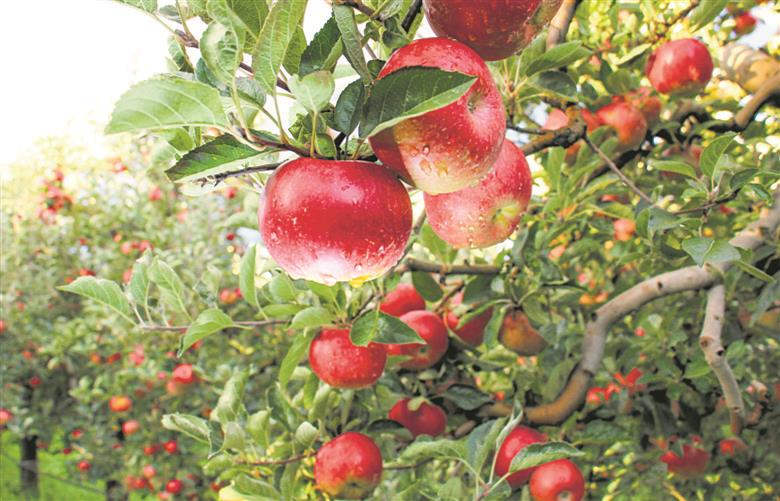 Not just a temperate fruit, apple is going places